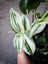 Load image into Gallery viewer, Wandering Jew Cream and Green / Variegated Tradescantia / Inch Plant - Houseplant Collection