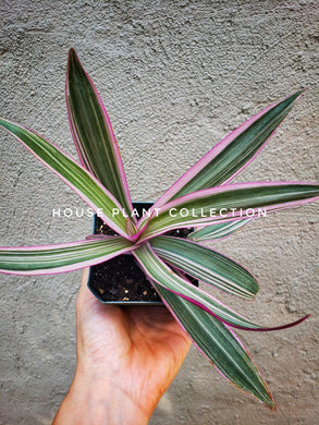 Tradescantia Moses in a Boat / Moses in a Cradle / Tradescantia Spathacea Rhoeo Discolor Tricolor - Houseplant Collection