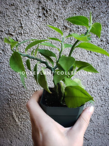 "Devil's Backbone Plant 3"" / Jacob's Ladder / Zigzag / Pedilanthus tithymaloides - Houseplant Collection"