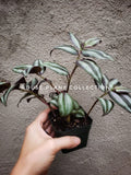 Wandering Jew **CUTTINGS** Variegated Tradescantia Inch Plant - Houseplant Collection