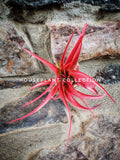 Tillandsia Abdita / Red Air Plant / Abdita Red Plant - Houseplant Collection