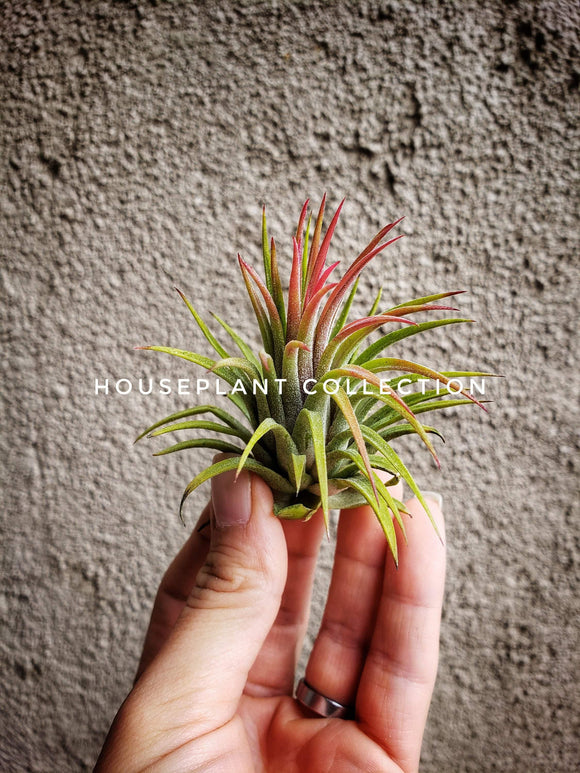 Tillandsia Ionantha Rubra Air Plant - Houseplant Collection