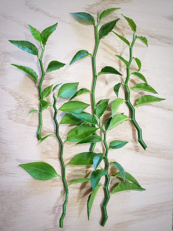 Devil's Backbone **CUTTINGS** Jacob's Ladder / Pedilanthus tithymaloides - Houseplant Collection