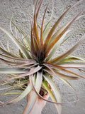 Capitata Mauve x Xerographica Tillandsia / Pink Plant / Air Plant / Easy / Rare - Houseplant Collection