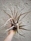 "LARGE Superinsignis 7-11"" - Houseplant Collection"