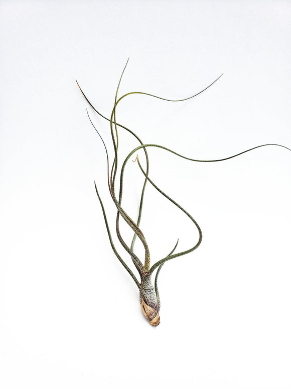 Butzii Tillandsia / Air plant / Live Plant / Great for Terrariums, Houseplants and Fairy Gardens - Houseplant Collection