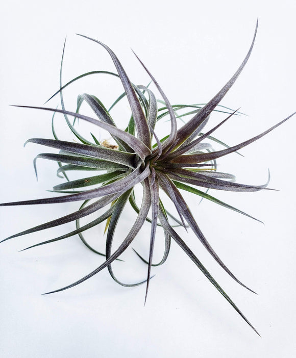 Aeranthos the Black Tillsandsia - Houseplant Collection