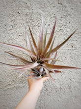"Load image into Gallery viewer, LARGE Superinsignis 7-11"" - Houseplant Collection"