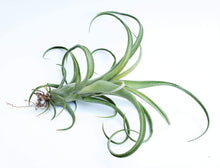 Load image into Gallery viewer, X Curly Slim / Curly Air Plant - Houseplant Collection