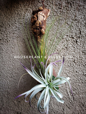 Air Plant Christmas Gift / Tillandsia Floral Arrangement / Air Plants on Driftwood / Gift Plant / Hanging Air Plants - Houseplant Collection