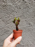 Mini Red African Milk Tree / Euphorbia trigona rubra / Easy to Grow / Cacti - Houseplant Collection