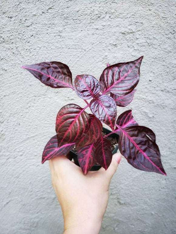 Iresine herbstii / Bloodleaf Plant / Red Plant / Pink Plant / Beefsteak Plant - Houseplant Collection