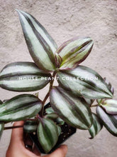 Load image into Gallery viewer, Wandering Jew Variegated Tradescantia / Inch Plant / Purple Houseplant - Houseplant Collection