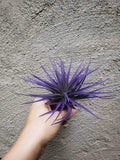 Montana Purple Tillandsia / Purple Air plant - Houseplant Collection