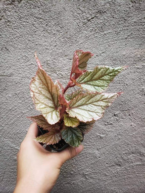 Looking Glass Angel Wing Begonia / Rare Plant / Pink Plant - Houseplant Collection