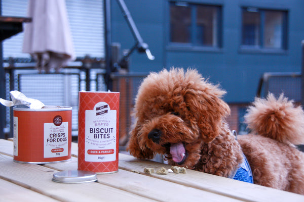 Ally the Poochon Puppy dog, sampling some of Best In Show's treats. This inparticular photo shows Ally the dog eating the Peanut butter & jelly beautifully baked biscuit bites in a beer garden.