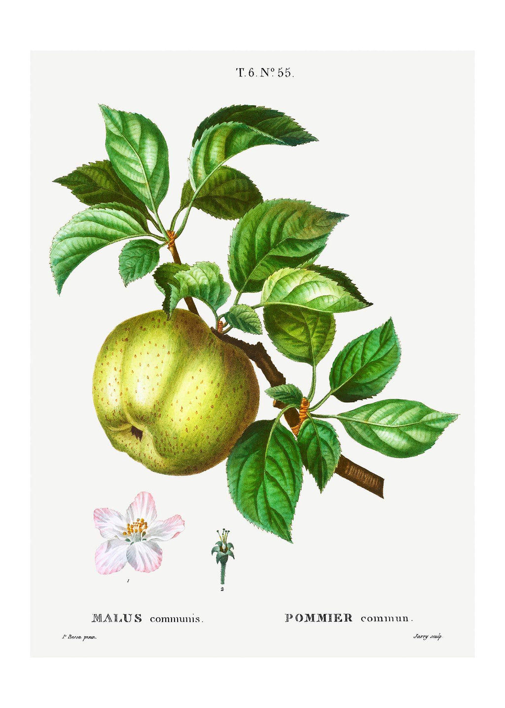 Apple Pommier Antique Vintage Print