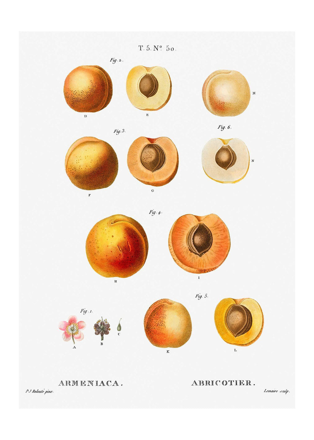 Apricot Illustration Vintage Antique Print