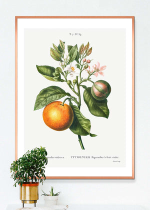 Bitter Orange Vintage Antique Print