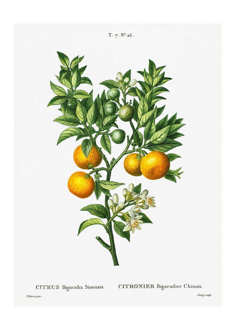 Bitter Orange Branch Vintage Antique Print