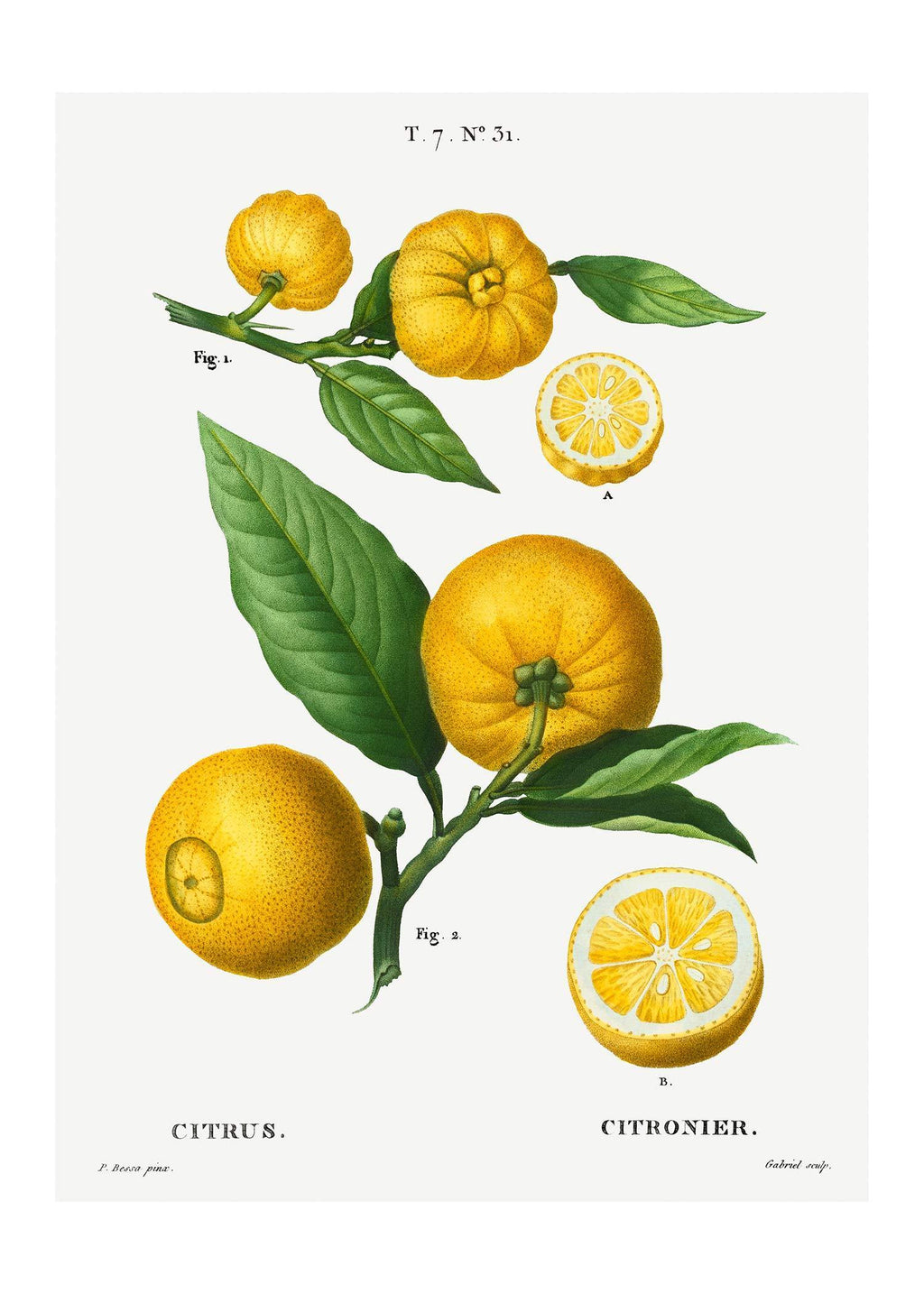 Citrus Lemon Vintage Antique Print