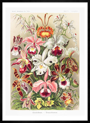 Orchidea Flowers Vintage Antique Print