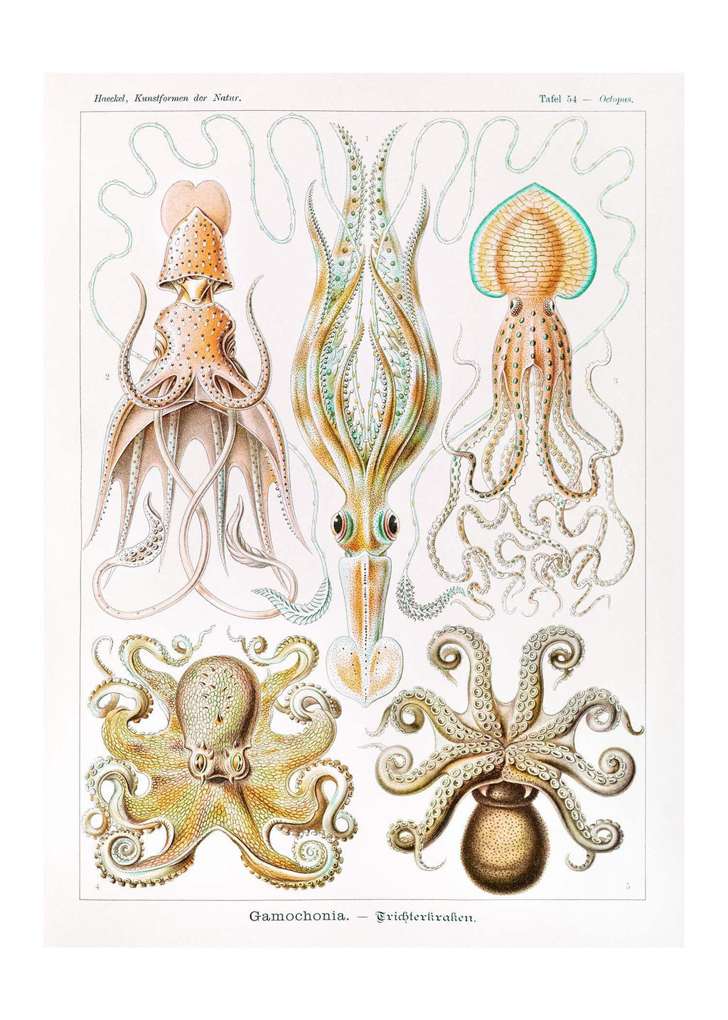 Gamochonia Octopus and Squid Vintage Antique Print