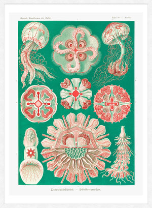 Jellyfish Green and Pink Vintage Antique Print