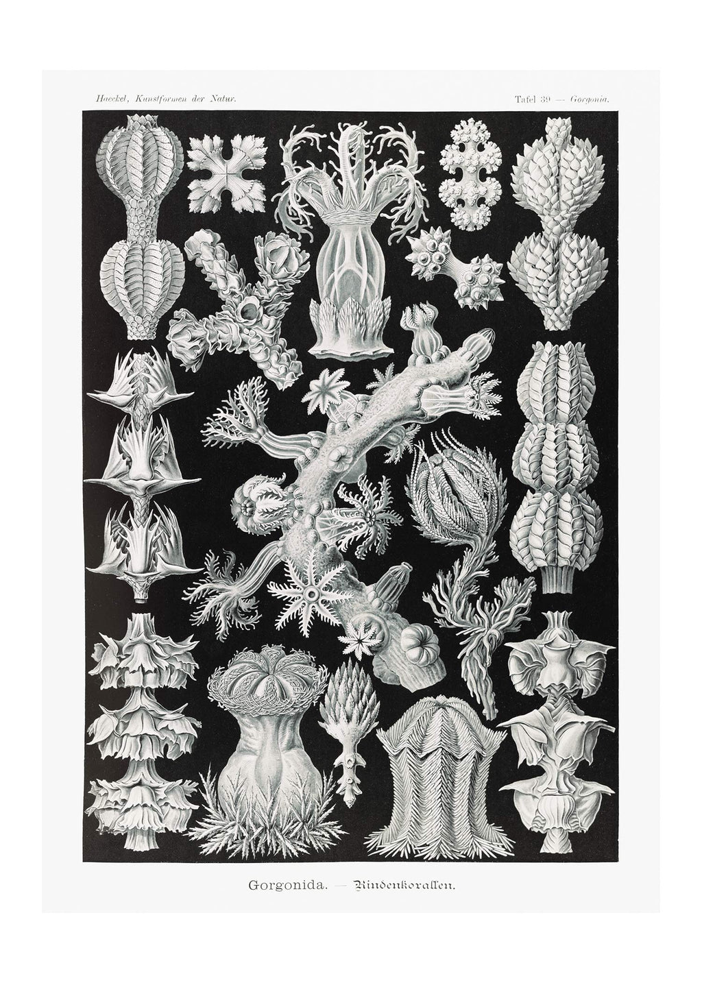 Corals Black and White Antique Print