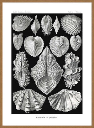 Mollusk Sea Shells Vintage Antique Print