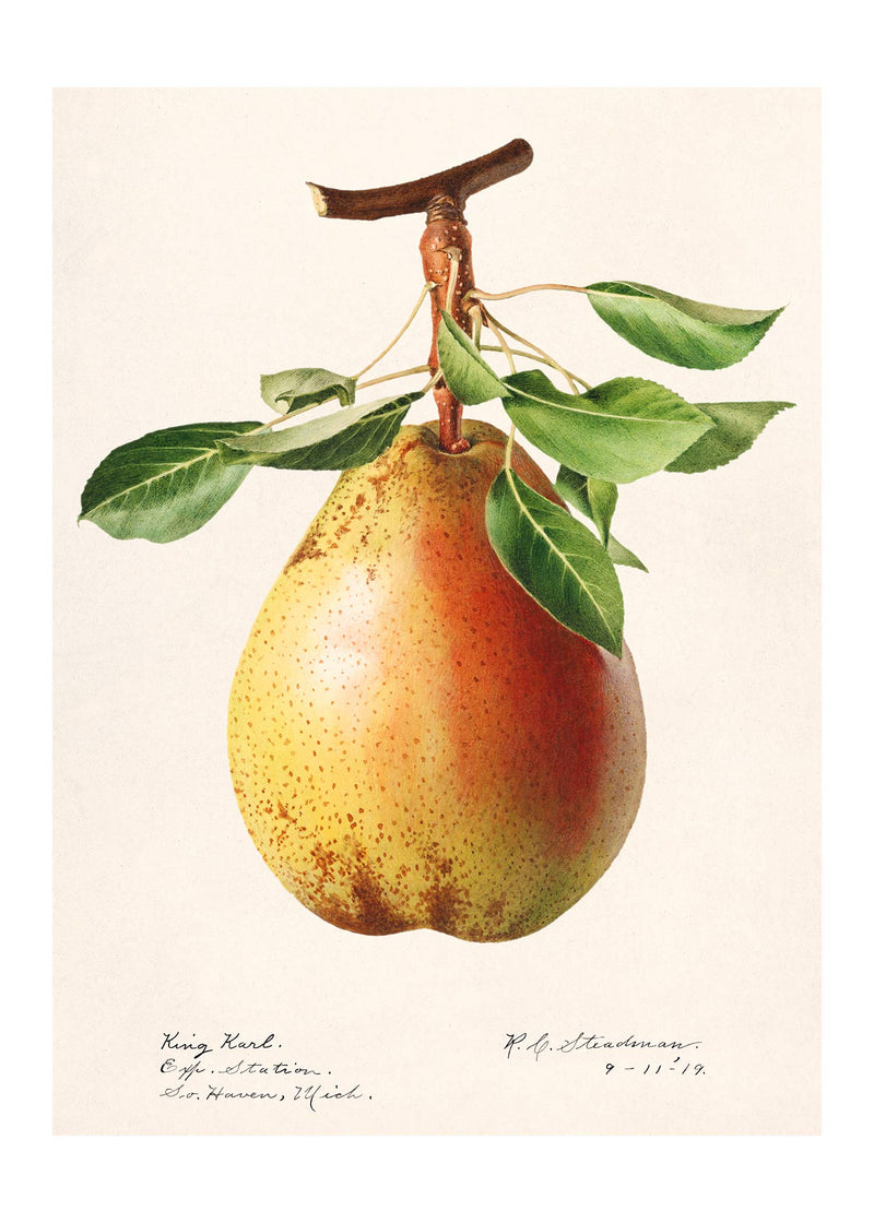 Large Pear Vintage Antique Print