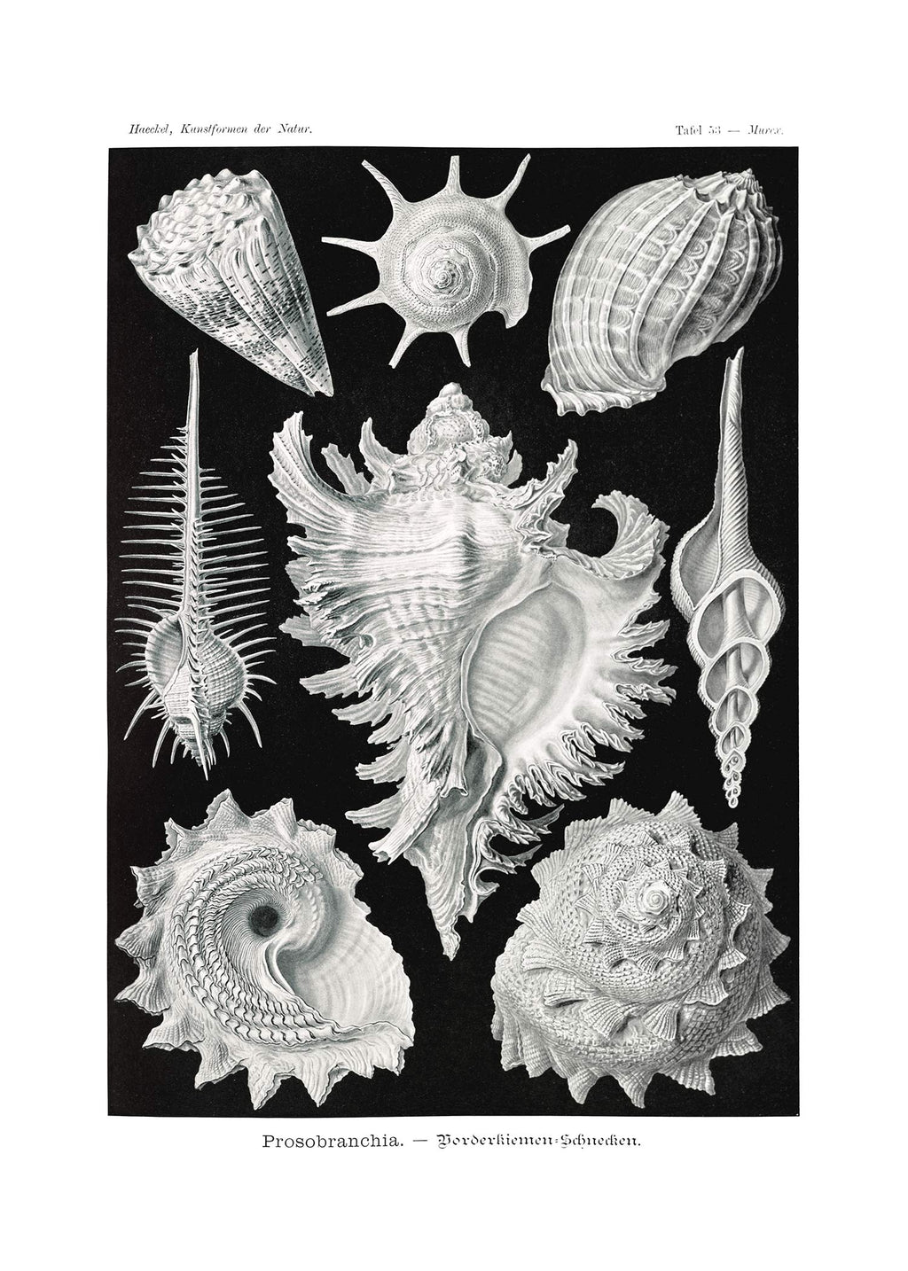 Sea Shells Antique Print