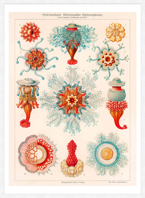 Jellyfish Vintage Antique Print