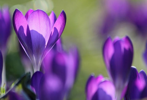 21 Plants that are Harmful to Cats - Autumn Crocus