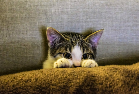 Anxiety in Cats: Causes, Symptoms, and Treatment 03