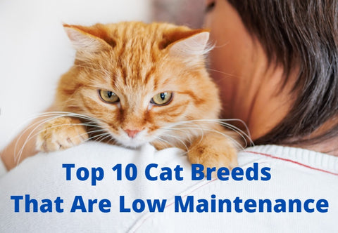 Top 10 Cat Breeds That Are Low Maintenance 01