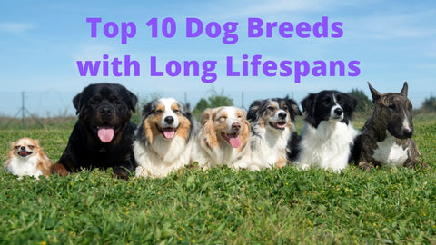 Top 10 Dog Breeds with Long Lifespans 01