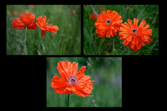 Poppies in the field, photographed by Laura Cook