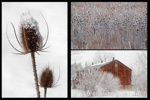 Beautiful Holiday Cards featuring Nature Photographs of Milkweeds and Tease Cones on a Snowy White Background by Laura Cook Make Perfect Christmas Cards