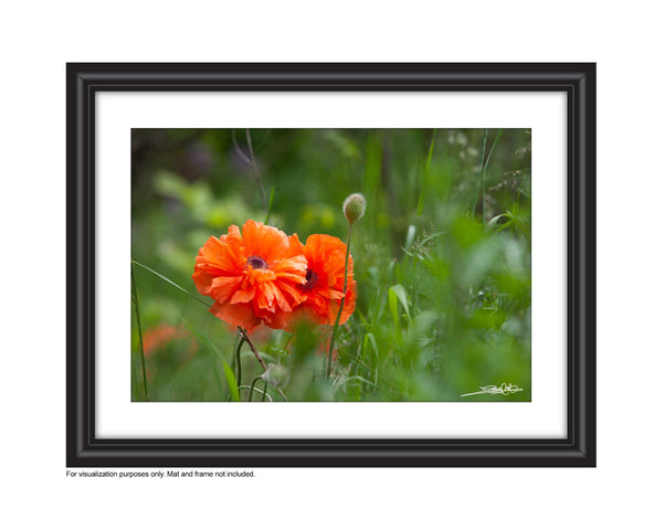 a framed photo of two poppies in the field. Photo by Laura Cook of Vision Photography