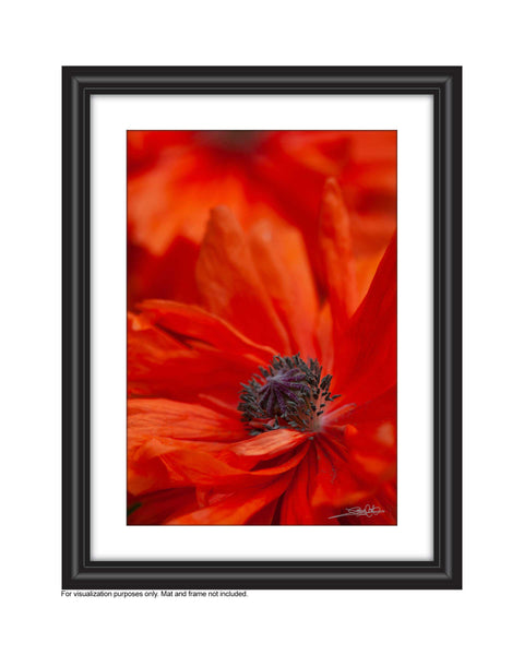 a framed close up photo of poppy photo by laura cook of vision photography