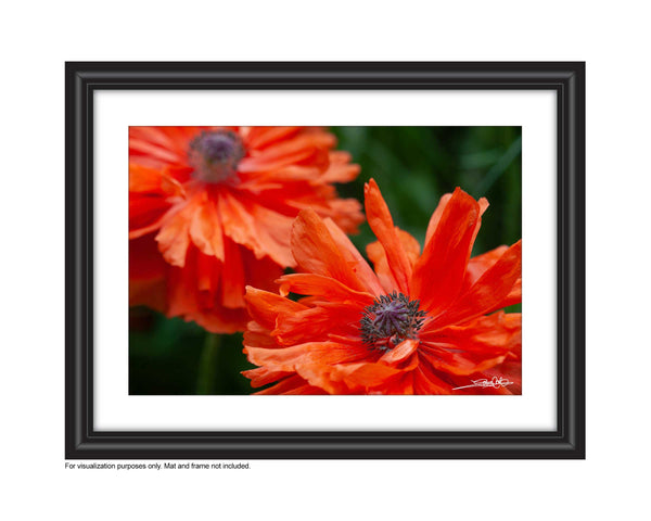 close up photo of 2 poppies photo in a frame by laura cook of vision photogprahy
