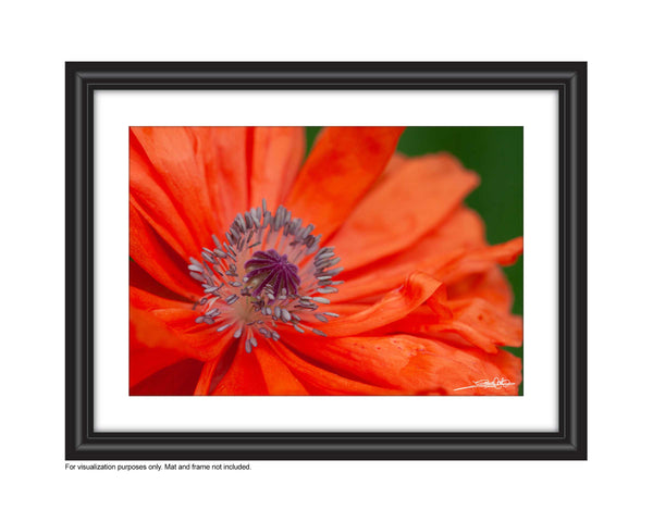 A close up photo of the poppy stamen in a frame. Photo by Laura Cook of Vision Photography