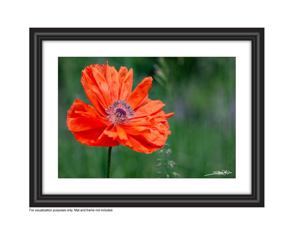 Poppy 58 - Photography Print