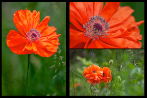 poppy greeting cards feature 3 different images of poppies in the field created by Laura Cook of Vision Photography