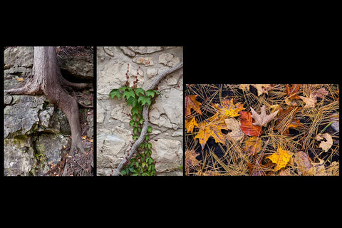 Fall photos of the simple beauty of tree roots , vines and the fall floor with vibrant maple leaves and pine cones Photo by Cambridge Ontario Photographer Laura Cook of Vision Photography