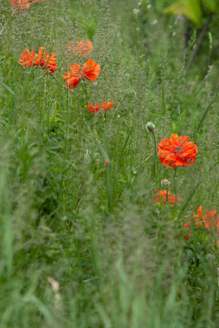 a photo of poppies growing wildly in the field by Laura Cook of Vision Photography