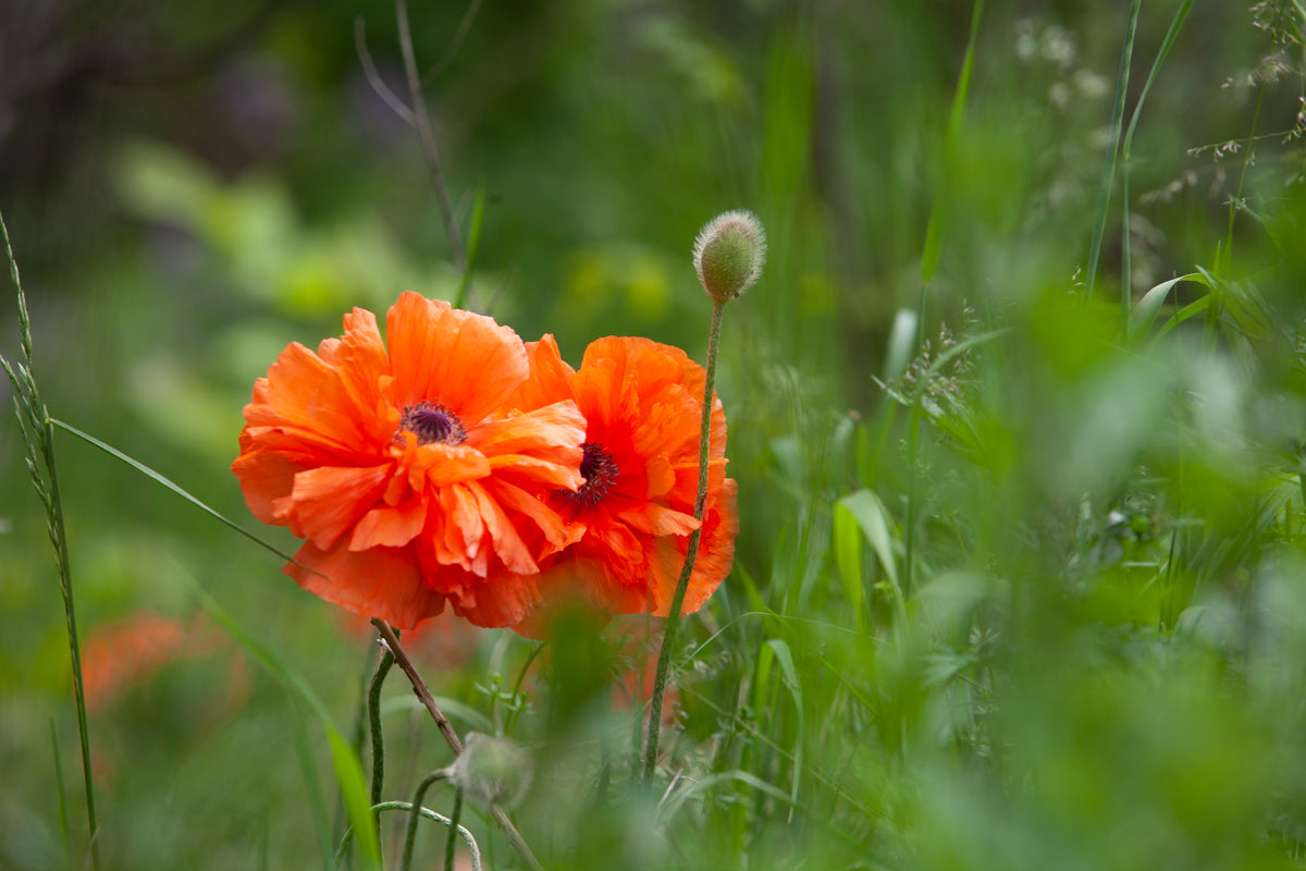 two poppies in the field. Photo by Laura Cook of Vision Photography