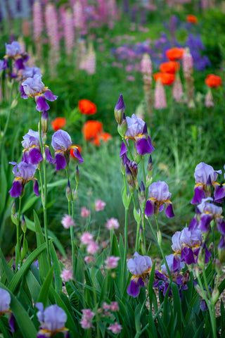 close up photograph of purple bearded irises in the foreground with blurred red poppies and pink lupines in the background. Photog created by Laura Cook