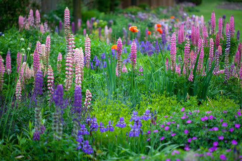garden view of pink and purple lupines and decorative grasses in varying heights and shades. Photograph by Laura Cook